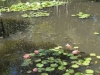 shadows-in-pond-lilies